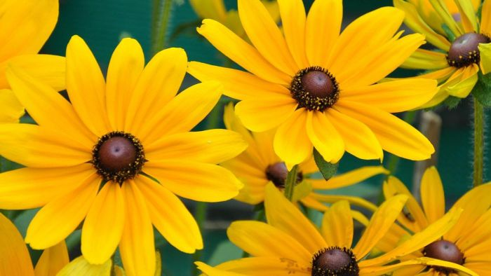 How Do You Plant Black-Eyed Susan Seeds?