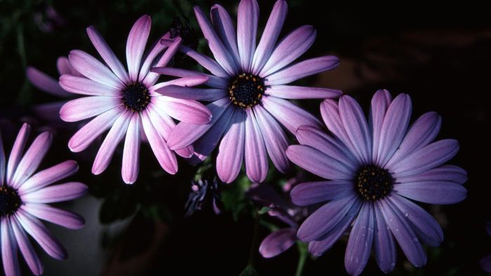 How do you plant and care for African daisies?
