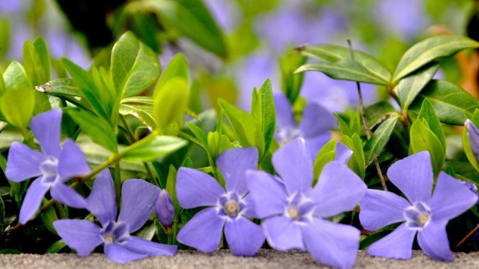 How Do I Plant Creeping Myrtle or Vinca Minor?
