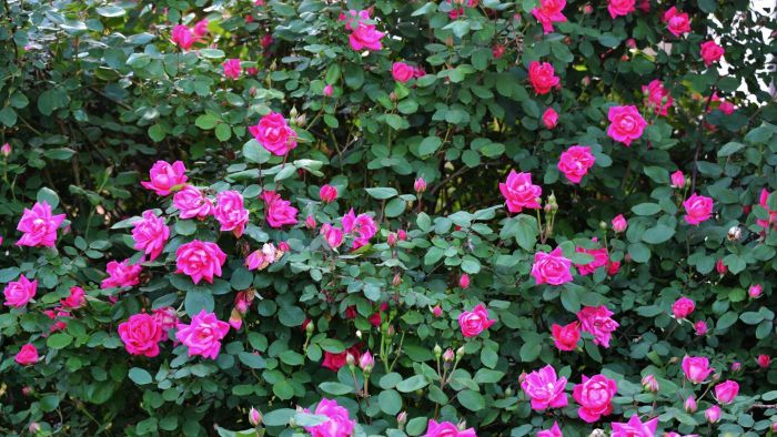 How Do You Plant Double Knockout Roses?