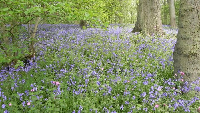 How Do You Plant English Bluebells?