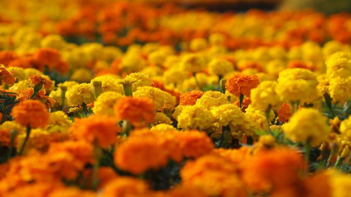 How do you know when to plant marigolds?