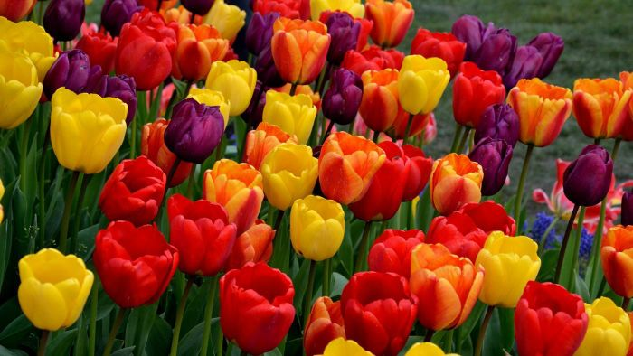 How Do You Plant Tulip Bulbs in the Fall?