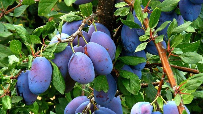Where are plums grown?