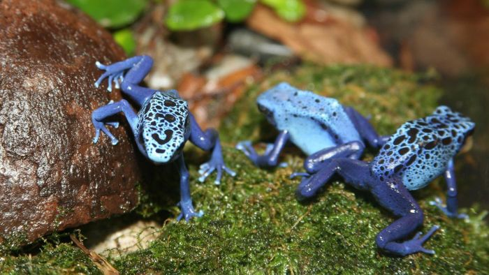 What is the poison dart frog's habitat?