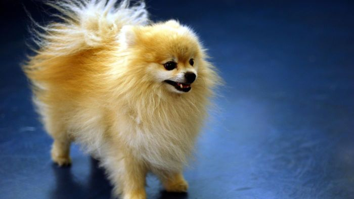What Are Some Pomeranian Characteristics?