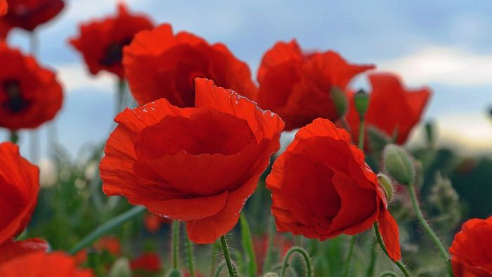 What does the poppy symbolize?