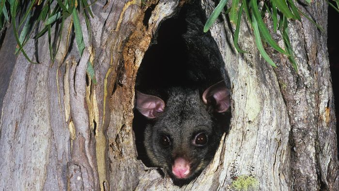Where Do Possums Live?