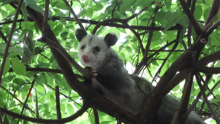 How Do Possums Sleep?