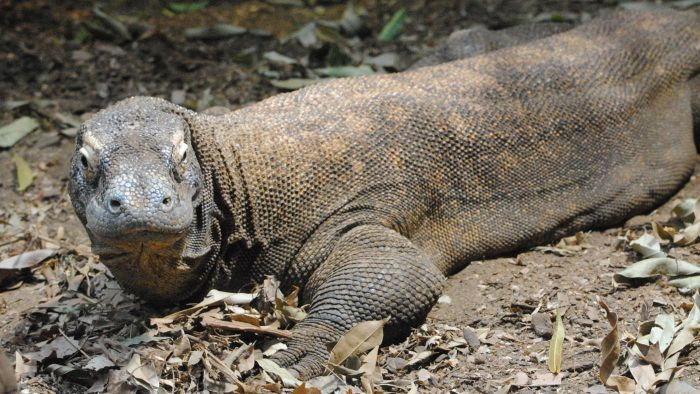 Who Are the Predators of the Komodo Dragon?