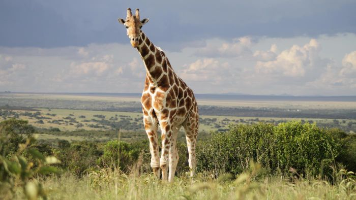 Do Giraffes Live in the Rainforest?