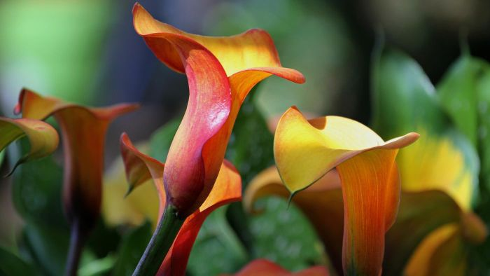 How Do I Preserve Calla Lilies?