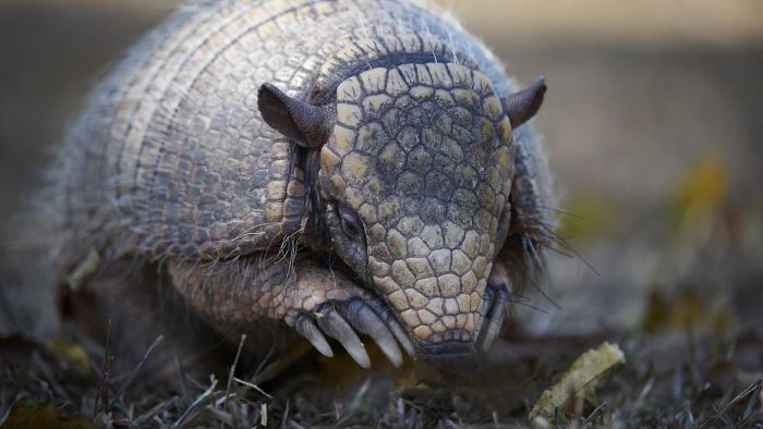 How do you prevent armadillos from digging holes?