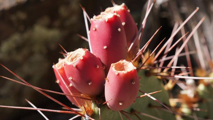 Is Prickly Pear Cactus Recommended to Treat Gestational Diabetes?