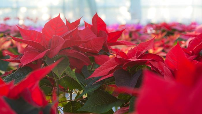 What Is the Problem With Poinsettia and Dogs?