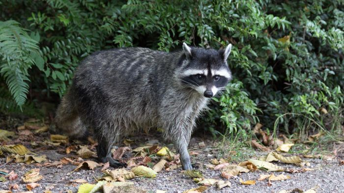 What Problems Do Raccoons Cause?