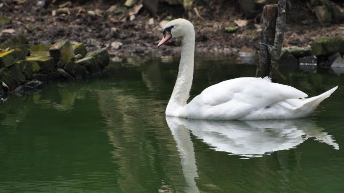 What Is the Proper Name for a Male Swan?