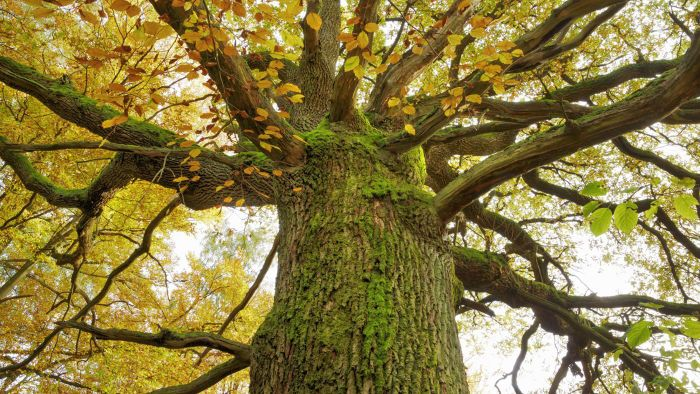 What Are the Properties of Oak?