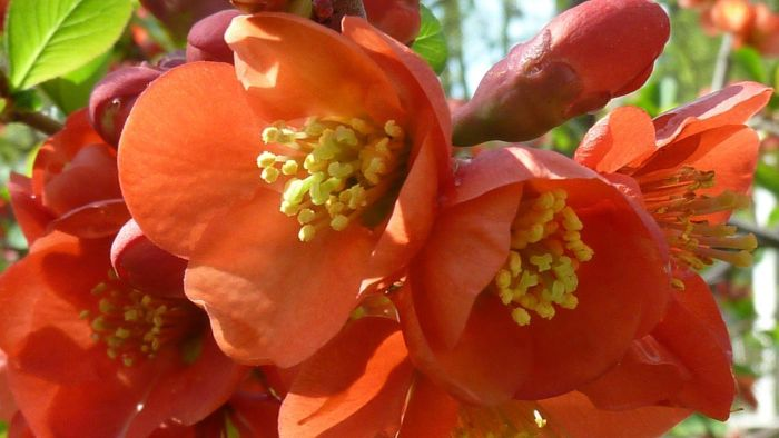 How Do You Prune Japanese Quince?