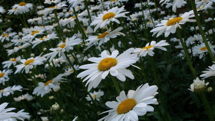 When Do You Prune Shasta Daisies?