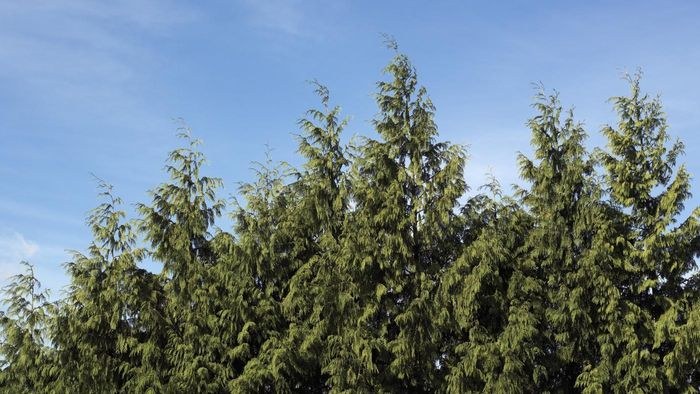 How Do You Prune and Trim a Leyland Cypress?
