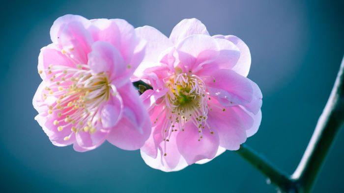 What is Prunus mume?