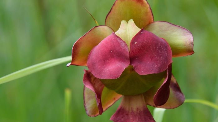 What Is a Purple Pitcher Plant?