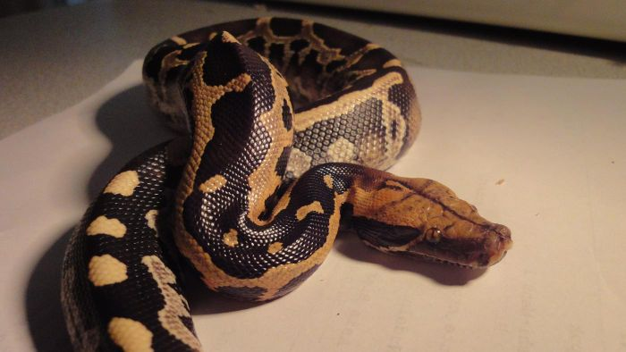 What Do Pythons Eat for Food?