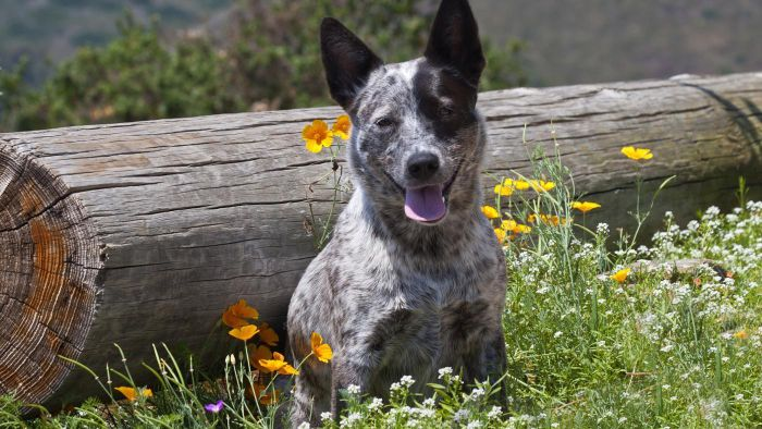 What Is a Queensland Heeler?