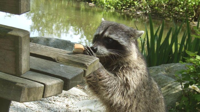 What do raccoons eat in the wild?