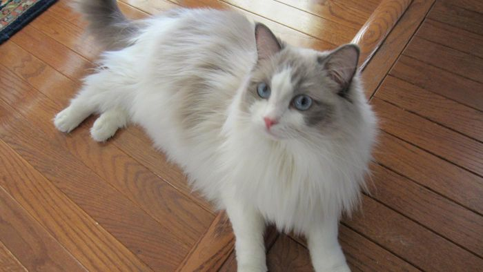What Is Ragdoll Cattery?