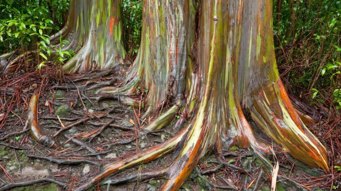 What Is a Rainbow Eucalyptus?
