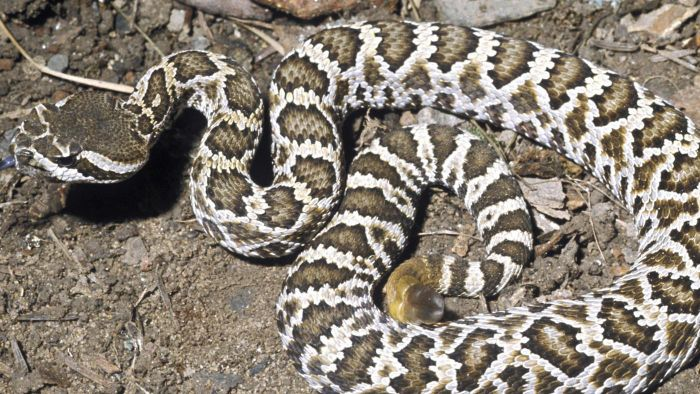 What Are Some Rattlesnake Facts for Kids?