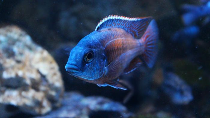What Is a Red Empress Cichlid?