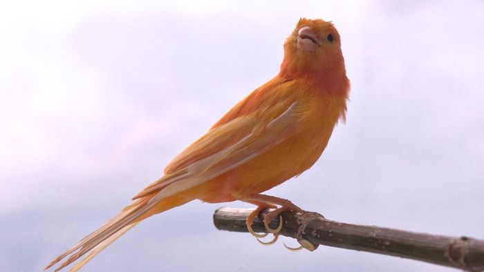 What Is A Red Factor Canary Reference