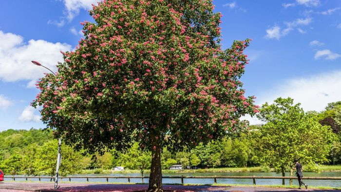 What Is a Red Horse Chestnut Tree?