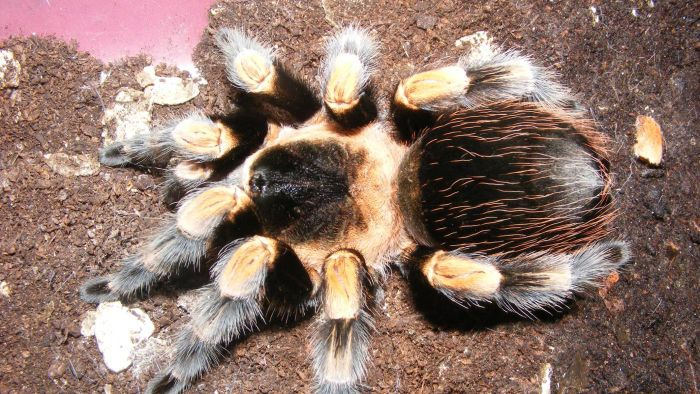 What is the red kneed tarantula?