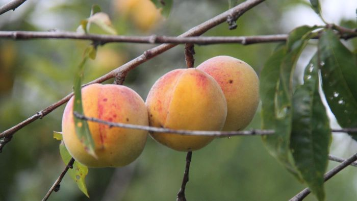 What Is a Reliance Peach Tree?
