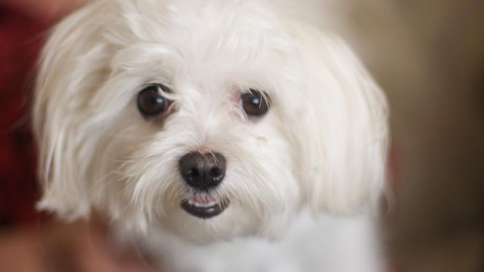 How Do You Remove Tear Stains Around a Maltese Dog's Eyes?