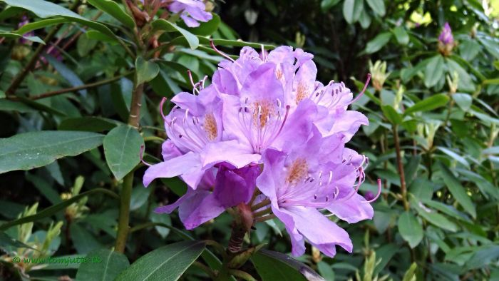 What Are Rhododendron Leaves?