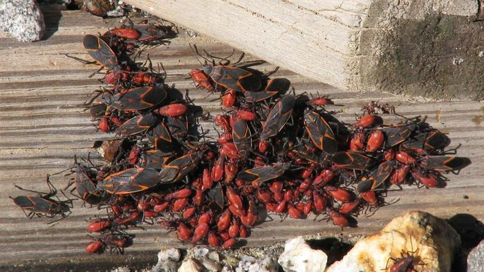 How Do You Get Rid of Boxelder Beetles?