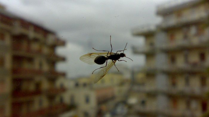 How Do You Get Rid of Flying Ants?