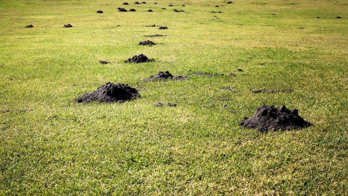 How Do You Get Rid of Moles in Your Yard?