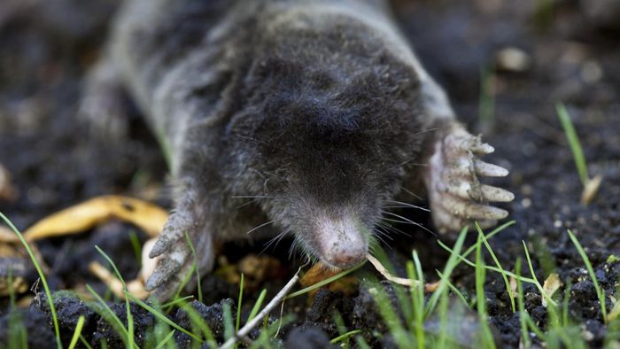 How Do You Get Rid of Moles in the Yard?