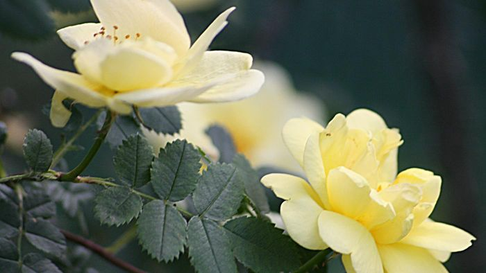How Do You Get Rid of Powdery Mildew on Roses?