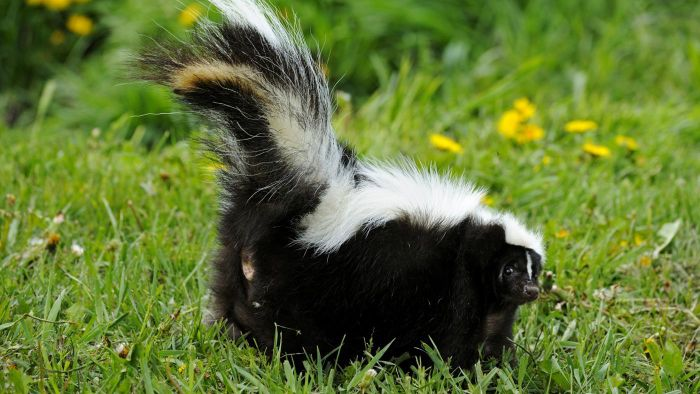 How Do You Get Rid of Skunks in Your Yard?