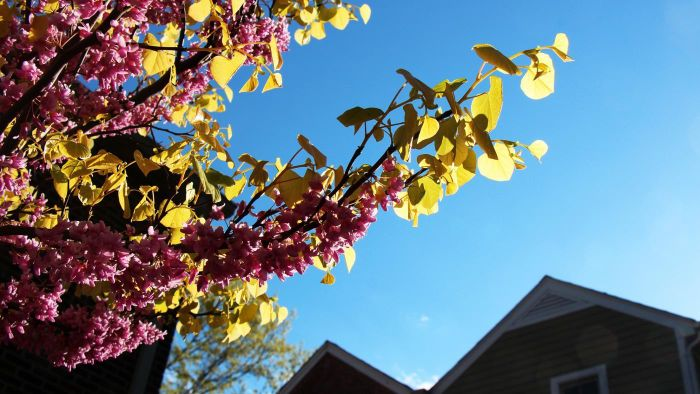What Is a Rising Sun Redbud Tree?