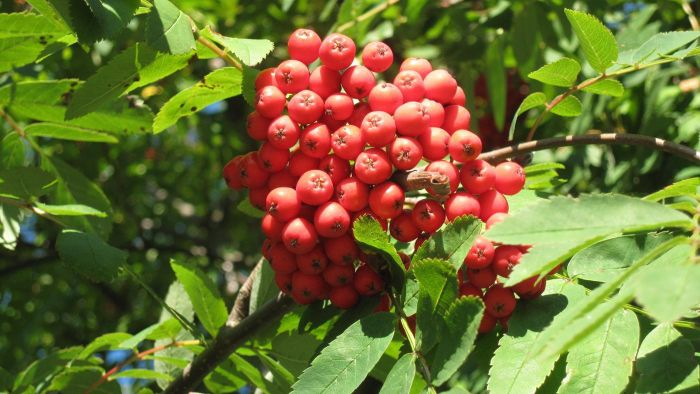 Are Rowan Berries Poisonous to Dogs?