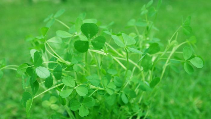 Where are royalty free shamrock images available online?