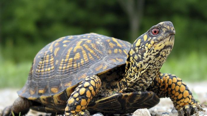 What Is a Russian Box Turtle?